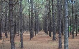 pine-farm